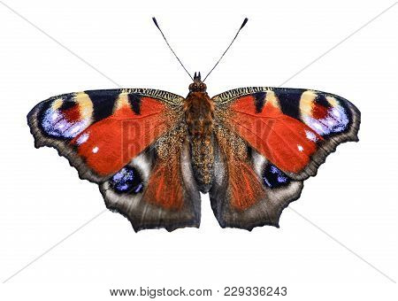 Beautiful Bright Peacock Butterfly (inachis Io) Fully Wing Stretching With Spots Eyes On Its Wings I