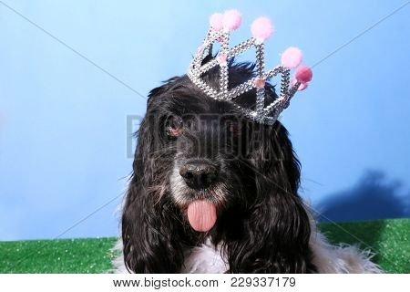 Cocker Spaniel Dog wears a Princess or Queen Crown. Dog photo studio portrait.