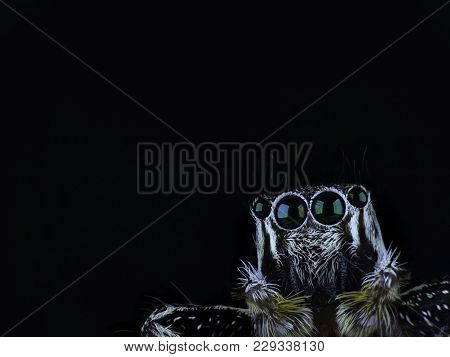 Close Up Face With Beautiful Eye Of Jumping Spider