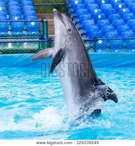 Dolphin In The Pool . In The Park In Nature