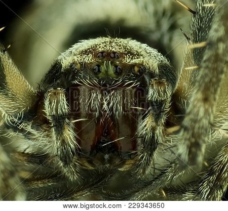 Close Up Face And Eye Of Spider