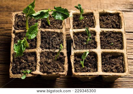 Seedlings In Peat Pots.baby Plants Seeding On Wooden Background