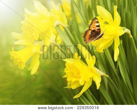 Spring Background. Flowering Daffodils. Butterfly Urticaria Sits On A Flower