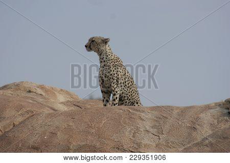 Cheetah (acinonyx Jubatus) Duma On A Big Rock