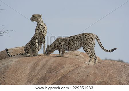 Cheetah(acinonyx Jubatus) Duma On A Rock In Samburu National Reserve.