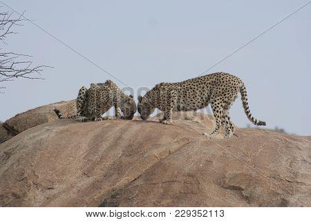 Cheetahs(acinonyx Jubatus) Duma In Samburu National Reserve Kenya.