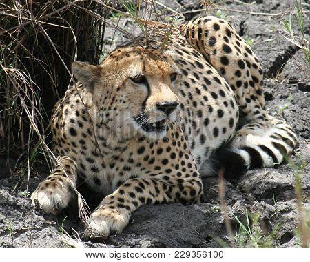A Cheetah (acinonyx Jubatus) Duma In Masai Mara
