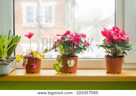 Cyclamen At Different Stages Of Flowering. Care For Alpine Violets