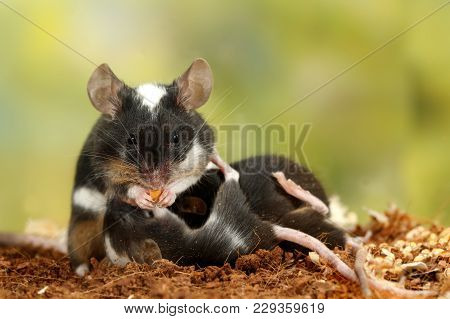Closeup Black And White Decorative Mouse (m.m.molossinus) Eats The Carrots And Breastfeed The Offspr