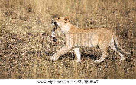 Young lion cub proudly struts through the Masai Mara with the remains of a kill in his mouth. The horns are all that is left of an unlucky wildebeest.