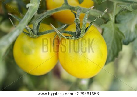 Organic Tomatoes On The Farm
