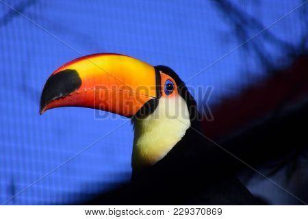 Photo Of A Toco Toucan Bird Looking Me