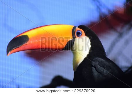 Photo Of The Colorful Toco Toucan In San Augustine Zoo
