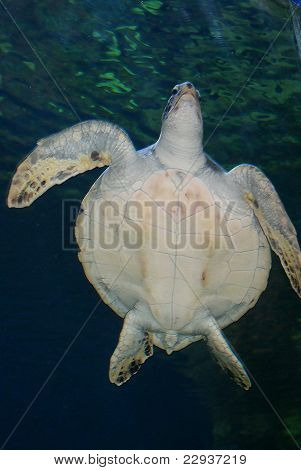 A giant sea turtle swimming up for air. Photo shop used to add texture. poster
