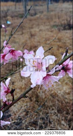 Peach Tree Pink Blossom With Early Morning Dew.