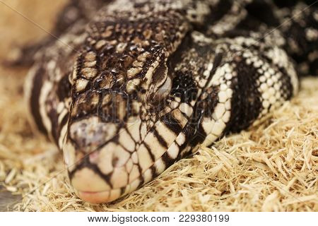 Adult Tegu In Sleep Time, Close-up Portrait. Black And White Tegu, Also Called Salvatot Merianae Or