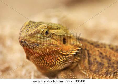Bearded Dragon Looking In The Camera With Vigilance. Best Portrait Of Bearded Dragon Or Pogona Repti