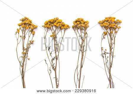 Flat Lay Dry Branches Of Tansy Grass On A White Background. Tanacetum Flower View From Above. Medica