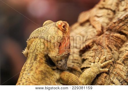 Cute Bearded Dragon Sitting On A Wooden Branch And Looking In The Camera With Vigilance. Great Portr
