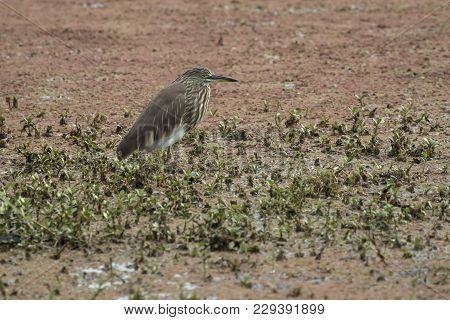 Indian Pond Heron In A Winter Dress That Sits In The Shallow Water Of A Small Pond In The National P