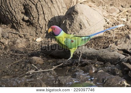 Male Plum-headed Parakeet Who Flew On A Small Water Body On A Winter's Day