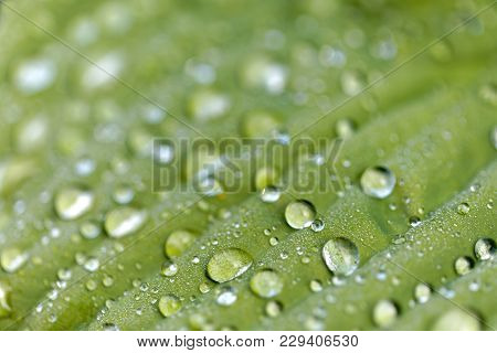 Closeup Of A Green Leaf With Rain Drops On A Plantain Lilies Also Known As Hosta, Short Depth Of Foc