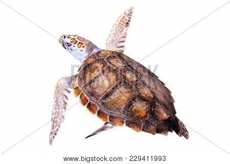 Green Sea Turtle, Chelonia Mydas, Isolated On White Background. In Australia It Is Located: Southern