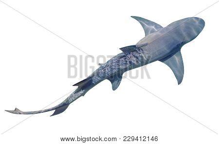 A Sicklefin Lemon Shark, Negaprion Acutidens, Isolated On White Background. The Lemon Shark Is A San
