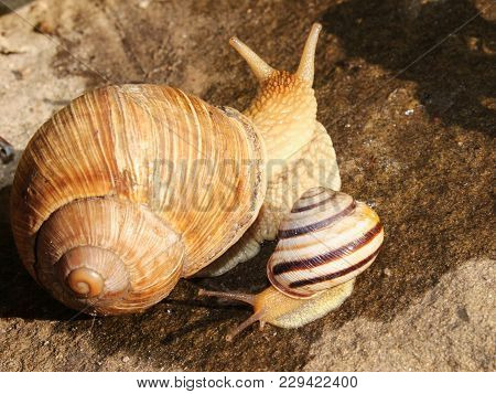Two Snails Of Different Sizes On The Street. Helix Pomatia, Common Names The Burgundy Snail, Roman S
