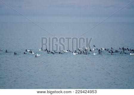 Group Of Coots And Gulls Are Floating And Resting On A Calm Water Of The Lake On A Hazzy Day