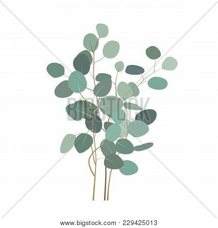 Vector Eucalyptus Or Silver Dollar Plant Branches. Hand Painted Eucalyptus Elements Isolated On Whit