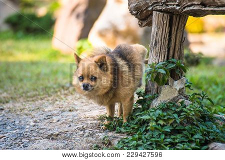 A Cute Chihuahua Urinating On Wooden Table In Home Garden. Chihuahua Of Urine In Park On Asphalt Of