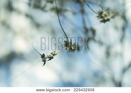 Branch With Winter Bush. Focus On The Branch. Details Of The Nature, Environment. Bluish Color