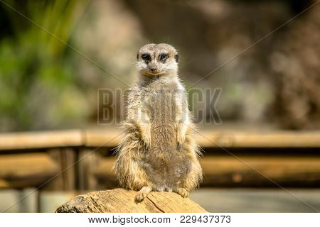 A Cute Meerkat On Watch Protecting The Family