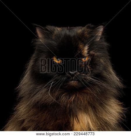 Portrait Of Angry Persian Cat, Red With Brown Fur, Gazing On Isolated Black Background
