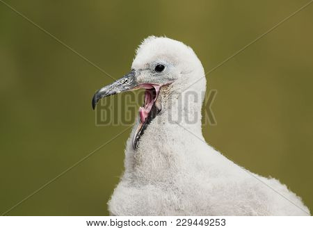 Close Up Of A Young Black-browed Albatross Chick Calling And Asking For Food, Falkland Islands.