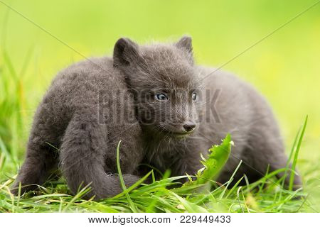 Arctic Fox Vulpes Lagopus Cubs Playing With Each Other, Summer In Iceland.