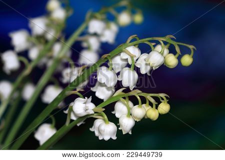 Beautiful Flowers Of Convallaria Majalis Are Poisonous