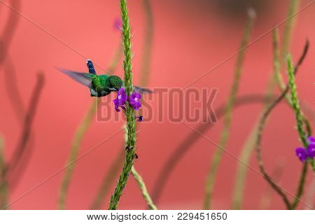 Green Thorntail -discosura Conversii