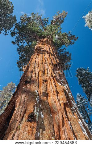 Giant Sequoia In Sequoia National Park, California, Usa