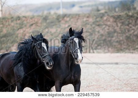 Two Black And White Horses With A Beautiful Mane Skip In The Field Along The Sand In Summer On A Far
