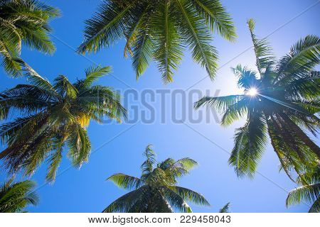 Coco Palm Tree Top With Sun Flare. Palm Tree Crowns With Green Leaves On Sunny Sky Background. Coco