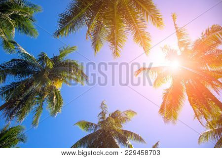 Coco Palm Tree Top With Orange Flare. Palm Tree Crowns With Green Leaves On Sunny Sky Background. Co
