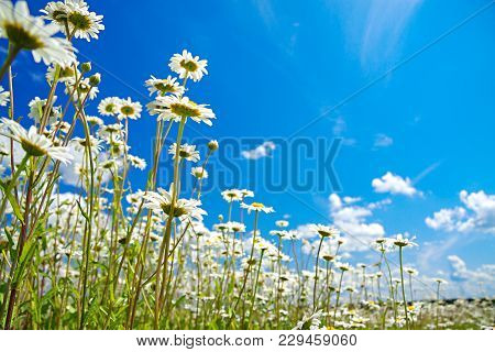 Beautiful Spring Rural Landscape With A Flowering Flowers On Meadow And Blue Sky. Wild Flowers Chamo