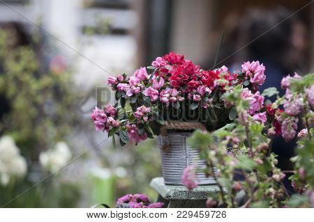 Pot With Rhododendron Cultiver - Azalea As Decoration