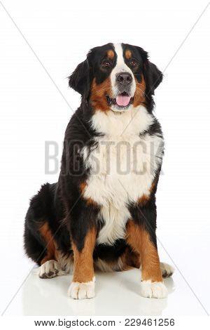 Bernese Mountain Dog Sits On White Background