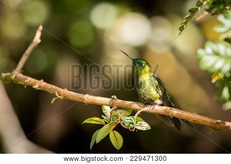 Sapphire-vented Puffleg, Green Hummingbird In A Green Environment, Hummingbird Sitting On A Branch B