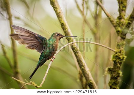Close Up Purple-throated Woodstar ,green Hummingbird In A Green Environment, Hummingbird Sitting On