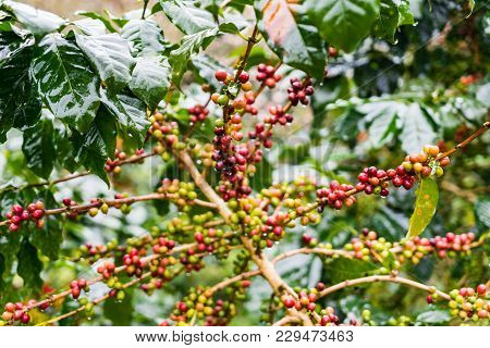 Coffea Arabica Plantation, Coffee Beans Ripening On The Rainy Day