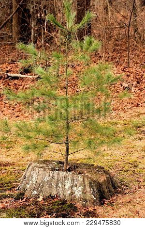Little Pine Tree Growing With Vigor Inside A Rotting Stump.